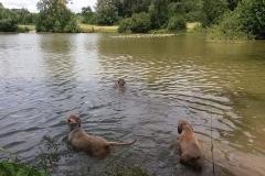 Rauhbartbande beim Schwimmen